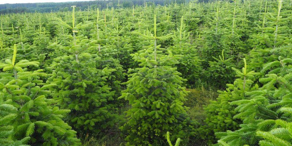 Městské lesy Hradec Králové už prodávají vánoční stromky